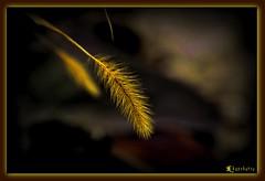 spiga _________ winter ! (KANEKORSO) Tags: oro spiga kanekorso nikond5000