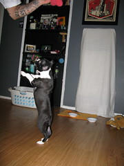 i want it (thekims) Tags: puppy bostonterrier rizzo