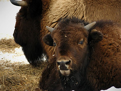 Baby Bison (time_one) Tags: canada buffalo quebec bison parcomega montebello omegapark