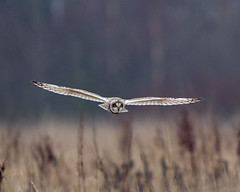 Short Eared Owl (Andrew Haynes Wildlife Images ( away for a while )) Tags: bird nature wings eyes leicestershire wildlife owl shortearedowl ajh2008 cossingtonmeadows