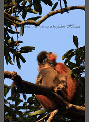 Capped Langur (Fahim Hassan) Tags: naturaleza nature beauty canon wildlife natur beaut environment hermoso mammals  primate bangladesh beau belleza environnement schnheit umwelt ambiente   milieu  schoonheid           cappedlangur madhupur   photocontesttnc11
