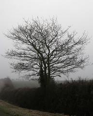 049/365 - Foggy morning tree (CarolAnn Photos) Tags: morning mist tree fog hedge canona710is ppt3652010 padfebruary2010