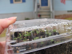 Winter Sowing 002 (Joyous Jems) Tags: winter plants sowing