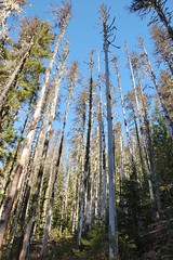 Tall trees along the Sourdough trail