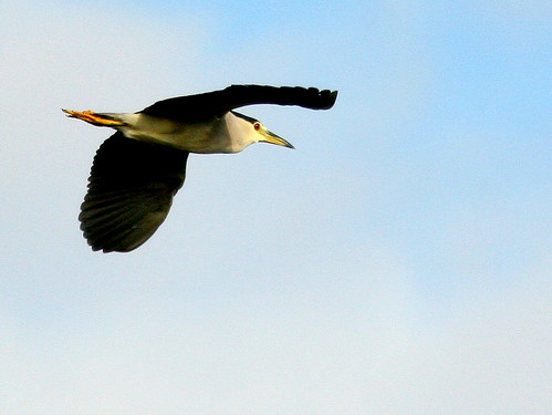 Black-crowned Night-Heron 20100215