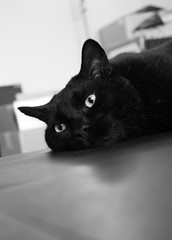 black cat relax (nereis*01*) Tags: pet pets black closeup cat blackcat feline felines blackcats ctas friendsofzeusandphoebe