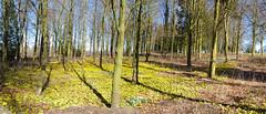 Salperton Aconite Wood (bowpb) Tags: wood flowers cotswolds aconite