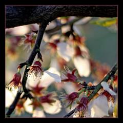 El Sentido de la Vida (m@tr) Tags: flowers flores canon canonef50mmf18 almendros ripollet elsentidodelavida canoneos400ddigital floresdeespaa mtr marcovianna