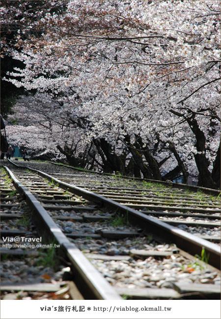 【via京都賞櫻行】鐵道上的櫻花美景~蹴上鐵道11