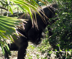IMG_3134-WDW-DAK-baby-gorilla