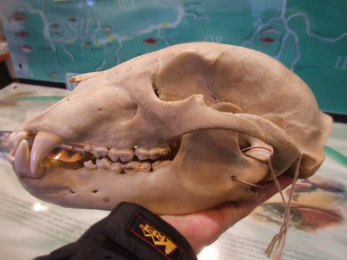 Grizzly Bear Skull Profile