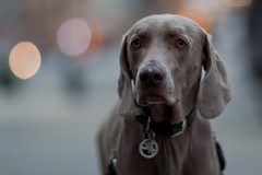 Dog Day Afternoon (pamhule) Tags: newyorkcity dog pet newyork canon dogdayafternoon 5dmarkii 5dii pamhule jensschott jensschottknudsen