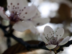 Spring is here! / ¡Ya llegó la primavera! (rubioz) Tags: red flower macro closeup 50mm spring rojo raw flor olympus processing 17 ml yashica manualfocus lightroom decerca e510 uro