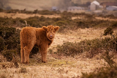 Baby Angus, Bodmin Moor (Nicky E Gardner) Tags: nature spring cornwall cows agriculture calf bovine bodminmoor gorse aberdeenangus furze