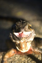 Hisss!! (Aristocrats-hat) Tags: focus dragon brisbane lizard botanicalgardens hiss