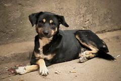 stile (cani di strada - street dogs) (nepalbaba) Tags: nepal dogs animals 2008 animali tika cani tiharfestival nepalbaba gigilivornosfriends festaditihar
