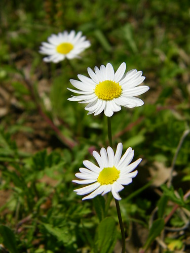 Daisies at Gonzales bee yard