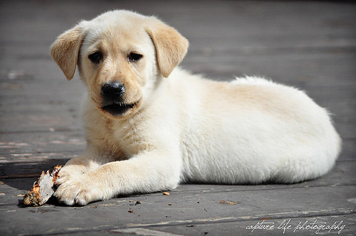 Sid - yellow Labrador Retriever
