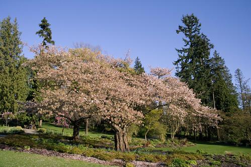 Cerisier au Stanley Park