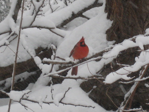 Picture 4: Cardinal in the Park