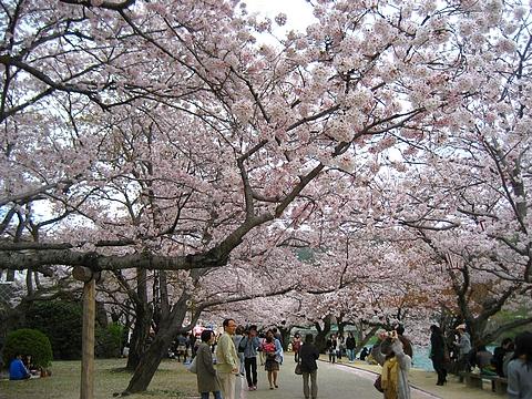 錦帯橋 花見2