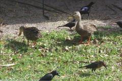 Back Yard Ville (UN1SON) Tags: blue bird home birds yard duck back spring backyard squirrel jay cardinal terrace dove birding duckling nuts seed feeder grackle mating feed ville lanai thrasher grackel