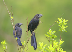 Anu-preto (Smooth-billed Ani) (Bertrando) Tags: nature birds wildlife natureza aves pssaros smoothbilledani crotophagaani anupreto bestcapturesaoi