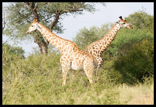 pushmepullyou giraffe style