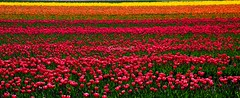 Enjoying a field of colors. (kees straver (will be back online soon friends)) Tags: flowers red orange colors yellow landscape thenetherlands tulip egmond mywinners canoneos5dmarkii keesstraver