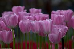 keukenhof-0292 (Arie van Tilborg) Tags: flowers holland netherlands tulips nederland tulip bulbs hollands keukenhof floraldesign lisse bollenstreek bloembollen amazingbokeh arievantilborg typischhollands superamazingbokehaward virgilio~gf