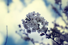 Spring is here ! Cherry Blossom (hito.fr) Tags: blur flower tree canon cherry eos 50mm spring blossom bokeh smooth cherryblossom sakura canoneos printemps cerisier eos450d canonrebelxsi rebelxsi