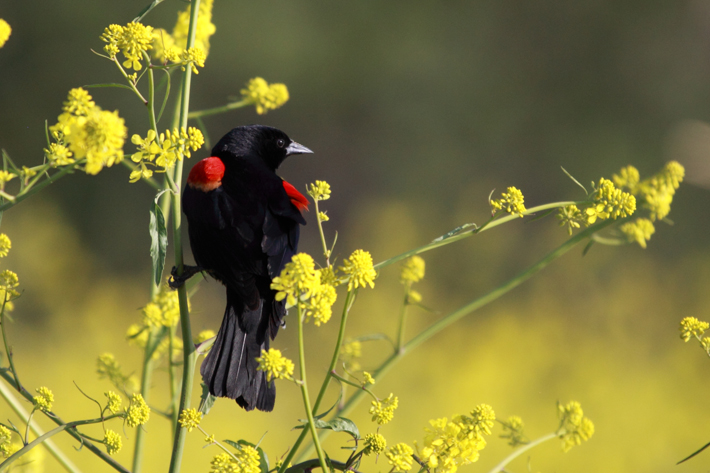 041310_redWingedBlackbird3
