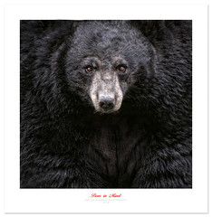 I See You (Imapix) Tags: bear nature animal blackbear ours omegapark gaetanbourque