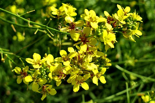 Sinapidendron angustifolia-rq-05