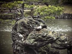 (ddsnet) Tags: birds japan tokyo sony birding cybershot  to nippon  birdwatching nihon hanami backpackers        tky    tkyto     japan japan hx1      birdwatchinginjapan to birdwatching birdwatching tky