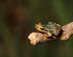 baby frog (aziouezmazouz) Tags: macro cute amazing colours bokeh cutie canon5d beautifulscenery canon100mmmacro bellissima naturesfinest vibrantcolours beautifulcapture naturewatcher