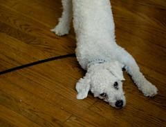 """""""Looook at meeeeee"""" (Graustark) Tags: dog white dinky ratapoo ratterrierpoodlemix"""