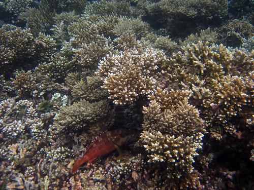 koh Phangan Snorkel Salad Beach コパンガン サラダビーチでシュノーケル5