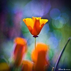 California poppy (davidyuweb) Tags: california bokeh poppy excellence colorphotoaward nikonflickraward eifphalloffame saariysqualitypictures elitegalleryaoi