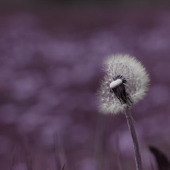 imperfect is beautiful too (.sxf) Tags: flower square spring purple bokeh lila dandelion blume squared flowerpower frhling lwenzahn pusteblume bokey colorphotoaward bokehhearts