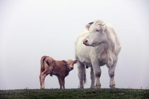 フリー写真素材, 動物, 哺乳類, ウシ科, 牛・ウシ, 家族・親子,