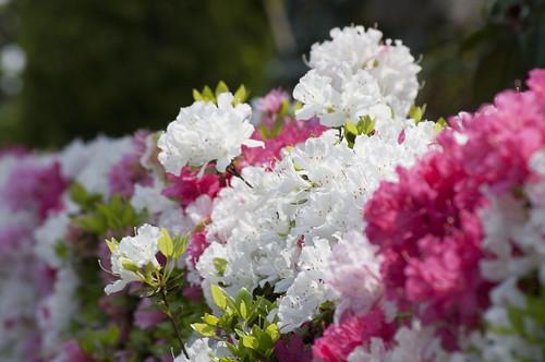 近所の花とか