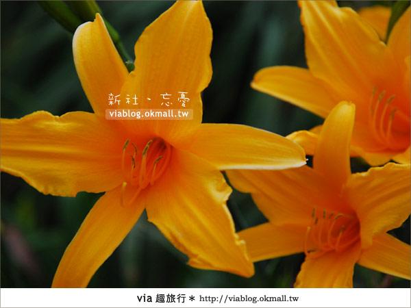 【台中休閒農場】2010金針花~新社沐心泉金針花15