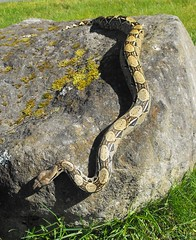 Colombian Red Tail Boa (The_RedTail) Tags: old red pet baby feet beautiful animal four foot one 1 colombian reptile snake tail 4 year boa serpent tame constrictor imperator docile banjooutside