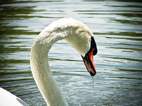 Drippin Swan