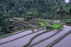 30040232 (wolfgangkaehler) Tags: people bali green field indonesia asian asia southeastasia rice farmers farm farming scenic fields farmer agriculture ricefield ricefields scenics waterbuffalo riceterraces localpeople riceplanting baliindonesia gunungkawi localfarmer gunungkawibali