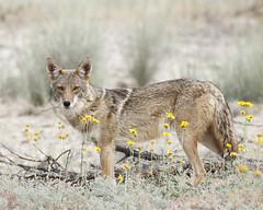 Coyote (thomasryan) Tags: coyote arizona southwest desert tucson wildlife naturesfinest supershot specnature specanimal specanimals megashot betterthangood