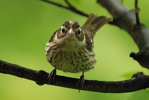 フリー写真素材, 動物, 鳥類, ショウジョウコウカンチョウ科, ムネアカイカル,