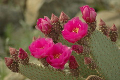 Cactus bloom in Anza Borrgo, CA (Motty Chen) Tags: anzaborego