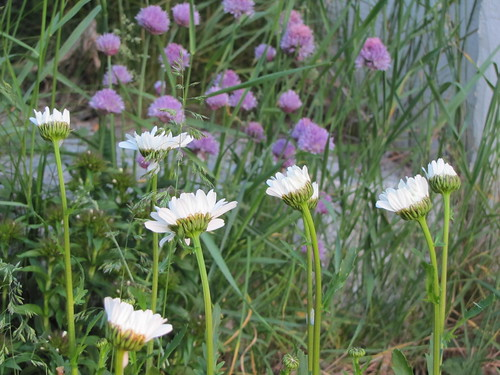 chives & daisies
